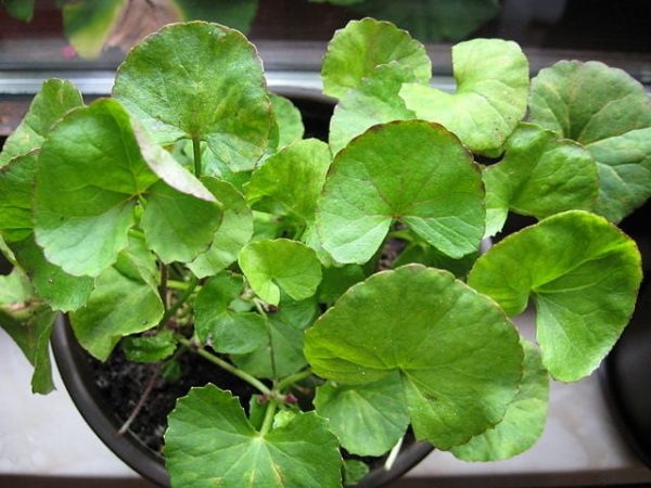 Skincare Ingredient Spotlight: Centella Asiatica