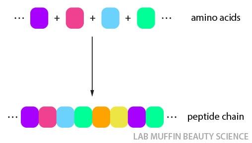 protein amino acid